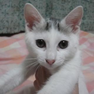 3ヶ月☆綺麗な白三毛 陽ちゃん