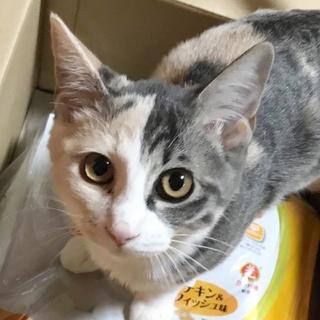 先住猫歓迎!人懐こい美人パステル三毛