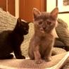 超ベタ慣れ!グレーサビと黒子猫の仲良し兄妹ペアで