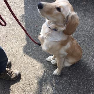 大型犬の子犬ローラちゃん♥
