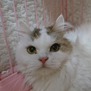スコティッシュF☆はる☆女の子・立耳・7歳・長毛