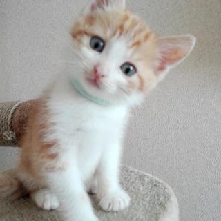 甘えたのキュートな茶白ロミオです。生後2か月!