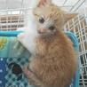 甘えたのキュートな茶白ロミオです。生後2か月! サムネイル2