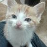 甘えたのキュートな茶白ロミオです。生後2か月! サムネイル4