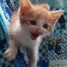 甘えたのキュートな茶白ロミオです。生後2か月! サムネイル5