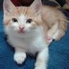甘えたのキュートな茶白ロミオです。生後2か月! サムネイル7
