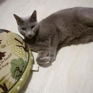 【交渉中】大人しい美猫ロシアンブルーの男の子