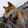 柴犬の将軍くん♂推定5~6才 サムネイル2