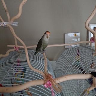小桜インコ若鳥