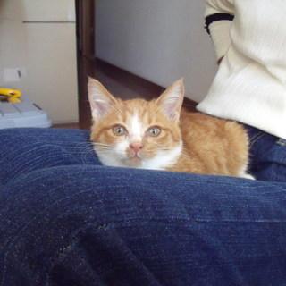 可愛い子猫(数少ない茶トラ白メス)もらって下さい。