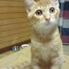 フレンドリーな3ヶ月の子猫 マロンくん
