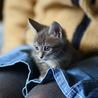 お膝猫シマくん・2ヶ月・美形仲良し兄妹 サムネイル2