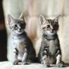 お膝猫シマくん・2ヶ月・美形仲良し兄妹 サムネイル3