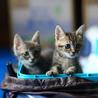 お膝猫シマくん・2ヶ月・美形仲良し兄妹 サムネイル4