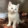 ブルーアイ綺麗な瞳の白猫ちゃん トライアル決定