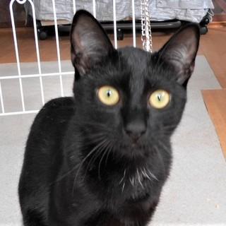黒猫の女の子☆ミミちゃん 5ヵ月半