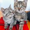 可愛いキジトラ・サバトラ子猫