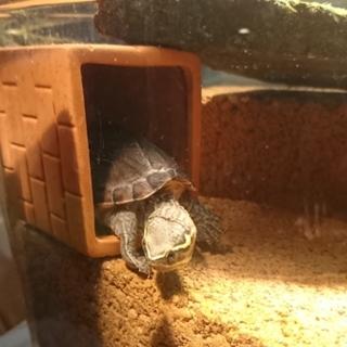 ミシシッピニオイガメ 大切に育ててくれる方募集