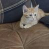 茶トラ 子猫 甘えん坊 オス只今トライアル中です。