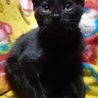 人懐っこい2ヶ月の黒猫♂♀