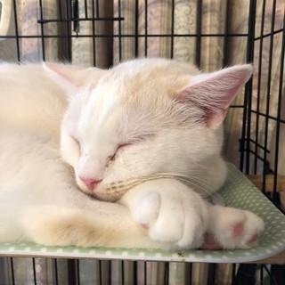 猫の恩返しより実写版ムタさん(純血のスコです)