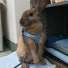急募!茶色ウサギちゃんの里親さま サムネイル7