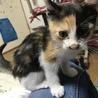 2ヶ月の三毛猫です!
