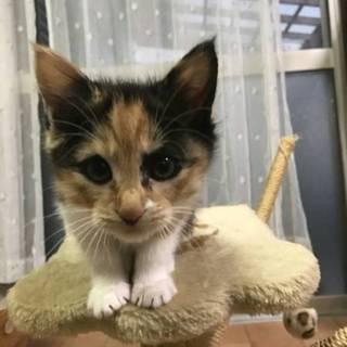 三毛の美猫のミューシャ 2ヶ月