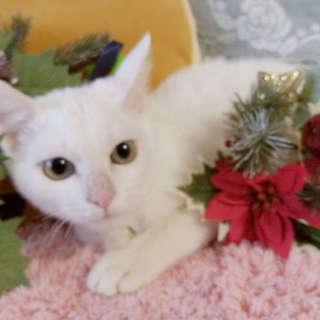 里親決定⚫白猫の女の子●5ヶ月くらい