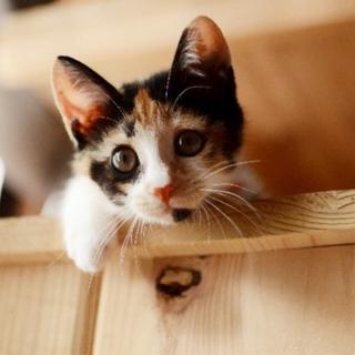 かわいい三毛猫【朱里】