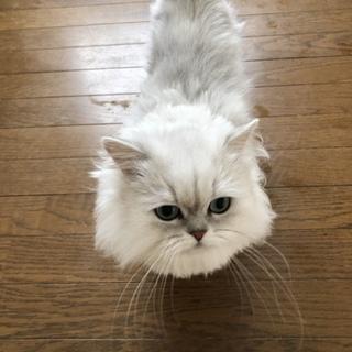 甘えたペルシャ猫オスです