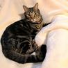 アメショ模様のキジトラ猫ケイタくん サムネイル2