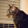 アメショ模様のキジトラ猫ケイタくん サムネイル3