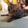 アメショ模様のキジトラ猫ケイタくん サムネイル5