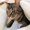 アメショ模様のキジトラ猫ケイタくん サムネイル7
