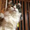ふわふわ長毛三毛猫のカロンちゃん サムネイル2