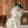 ふわふわ長毛三毛猫のカロンちゃん サムネイル7