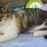 とても可愛い三毛色の子猫ちゃん サムネイル2