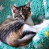 とても可愛い三毛色の子猫ちゃん サムネイル3