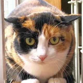 ちょっと強気な美猫のミケちゃん かのこちゃん