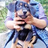 保護した子犬です サムネイル3