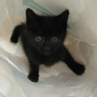 慣れて可愛い黒猫の女の子ゴマちゃん