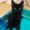 きれいな黒猫 5ヶ月