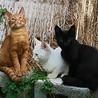 シャム系白猫の男の子 サムネイル5