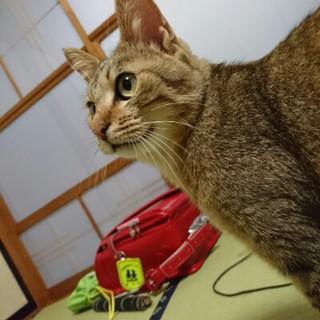 『ティオ』甘えん坊で、遊び好きな成猫