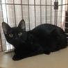 きれいな黒猫 5ヶ月 サムネイル2
