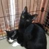きれいな黒猫 5ヶ月 サムネイル3