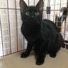 きれいな黒猫 5ヶ月 サムネイル4