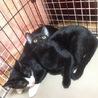 きれいな黒猫 5ヶ月 サムネイル6