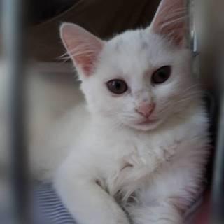 3ヶ月半位  メス  ふわふわ白猫シフォンちゃん!